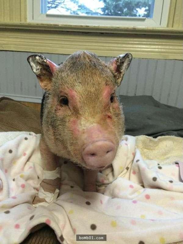 这只宠物小猪在家里失火后奋不顾身冲入火场2