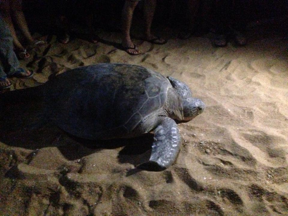 现在是海龟生蛋的季节1