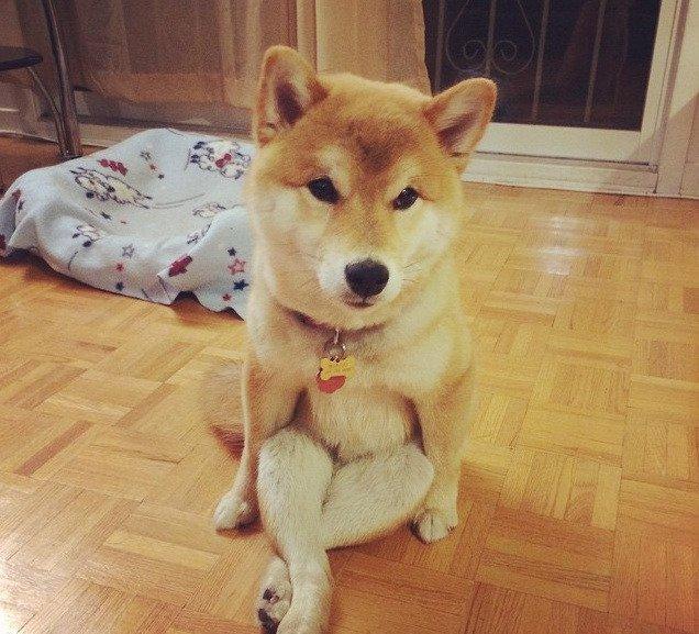 喜欢用屁股坐地上的柴犬9