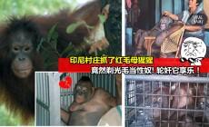 【变态印尼人竟然逼母猩猩做『妓女』卖淫!】猩猩被剃光全身毛『接客』取悦男人! 原因竟然是人们觉得『搞』猩猩比较爽…